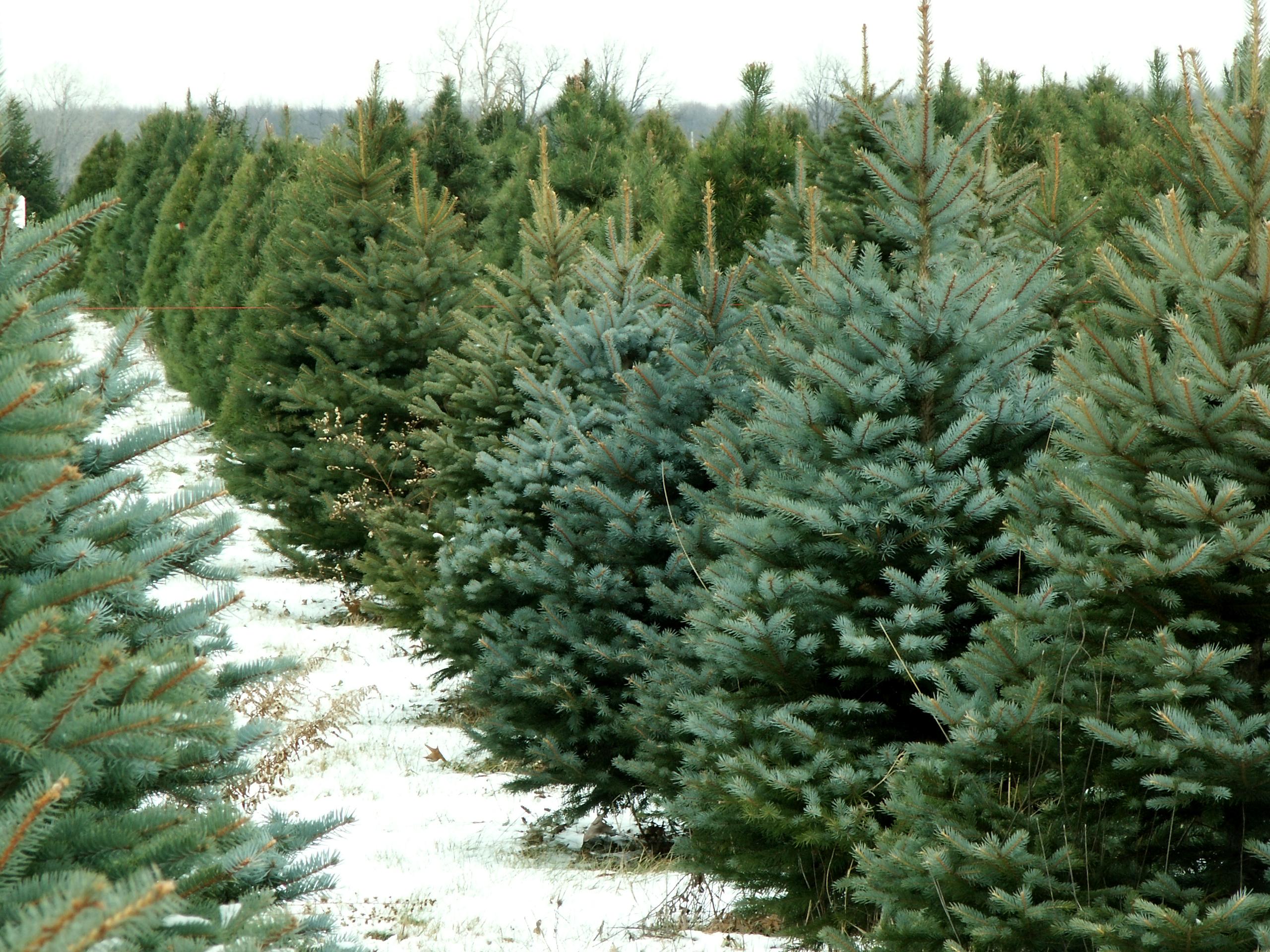 The Great Christmas Tree Debate Real Or Christmas Tree